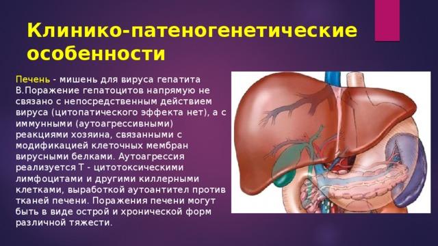 Клинико-патеногенетические особенности Печень - мишень для вируса гепатита В.Поражение гепатоцитов напрямую не связано с непосредственным действием вируса (цитопатического эффекта нет), а с иммунными (аутоагрессивными) реакциями хозяина, связанными с модификацией клеточных мембран вирусными белками. Аутоагрессия реализуется Т - цитотоксическими лимфоцитами и другими киллерными клетками, выработкой аутоантител против тканей печени. Поражения печени могут быть в виде острой и хронической форм различной тяжести.