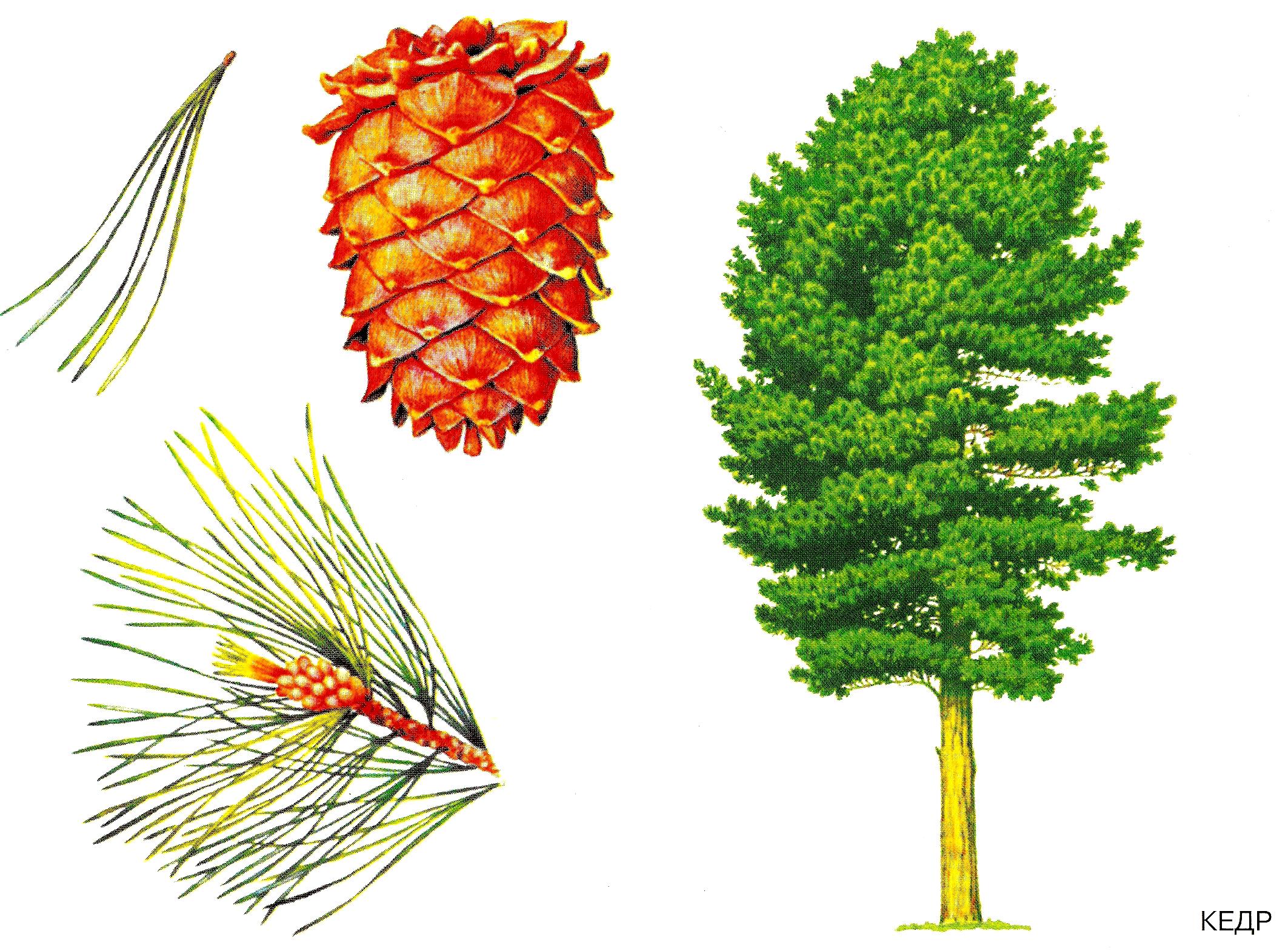 Описание строение елки картинка для детей