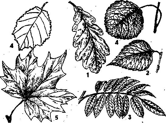 листья клена дуба березы рябины рисунки