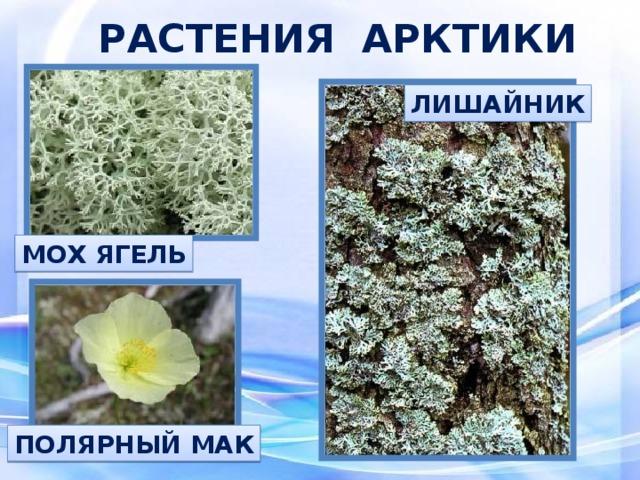 этого растения арктики картинки с названиями цвет имеет