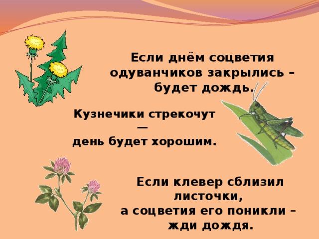 соцветия одуванчиков закрылись днем сердце