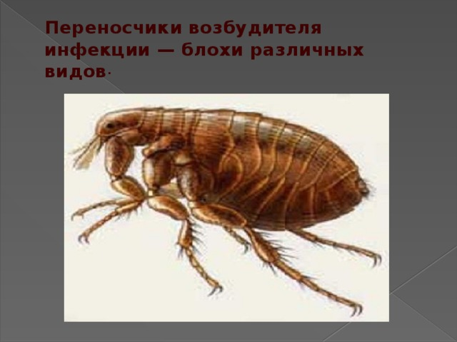 Переносчики возбудителя инфекции— блохи различных видов .