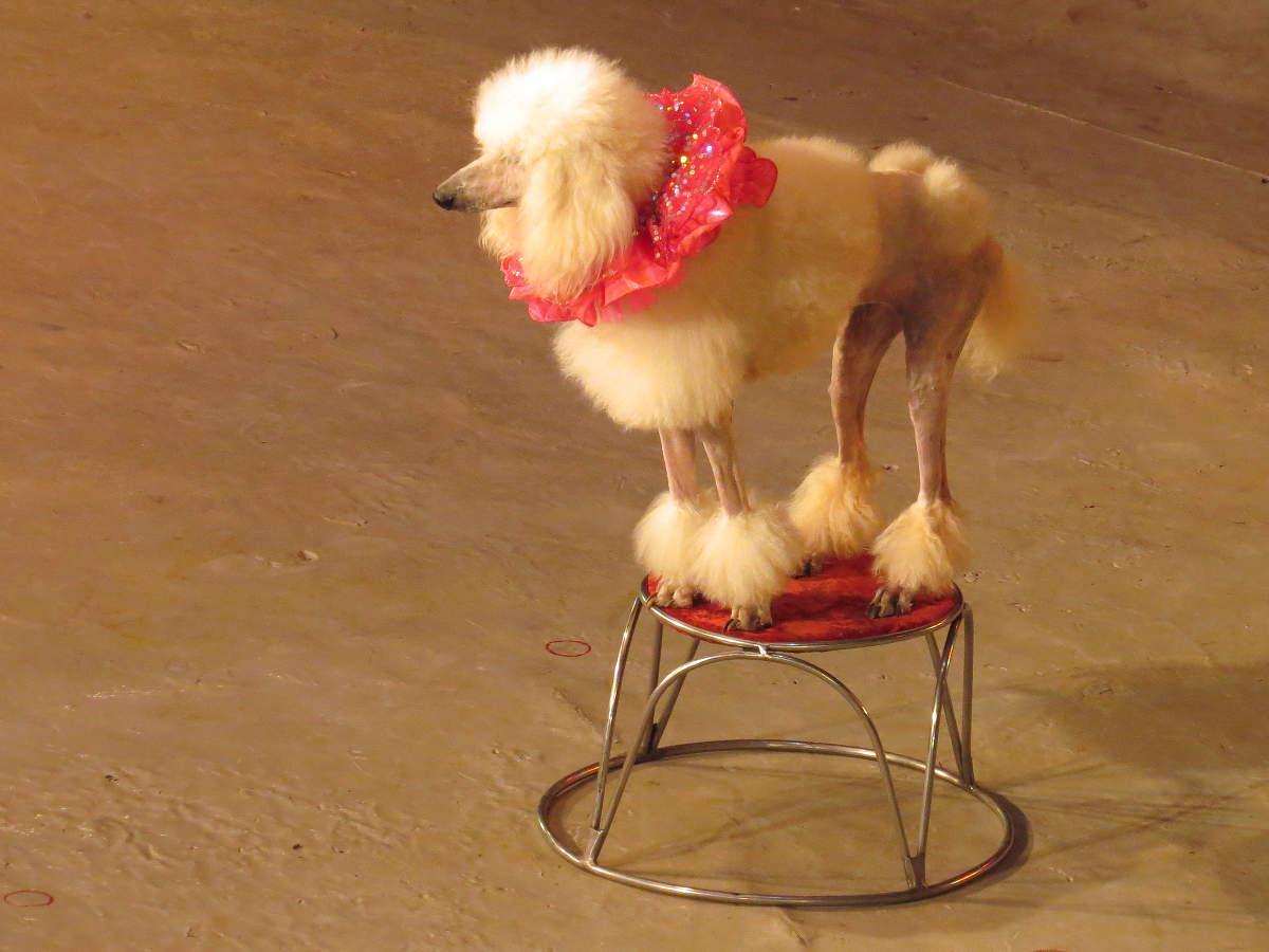 Картинки с цирковыми собачками