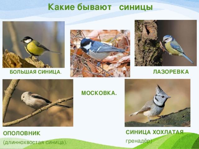 синицы виды фото и названия огурчики тоже имеют