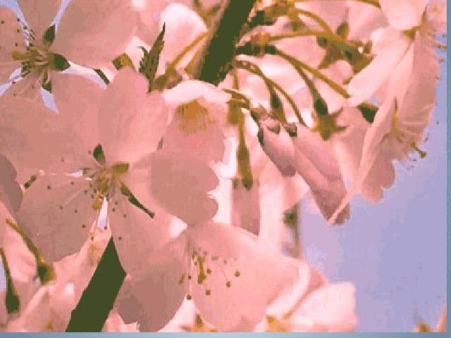 Расцветают вишни анимация картинки