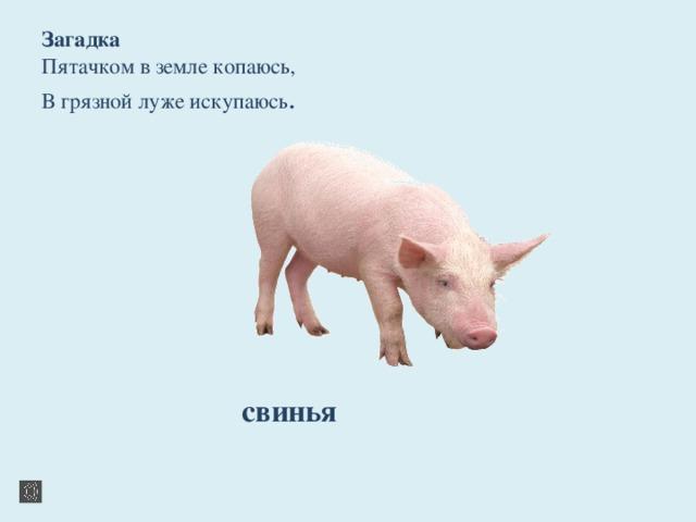 базовых загадка по картинке со свиньями шапками и варежками картинка далеко весь