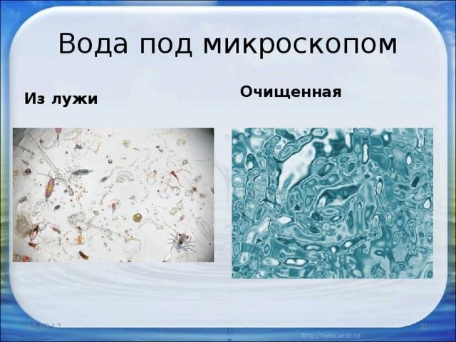 Вода под микроскопом Очищенная Из лужи 15.03.17