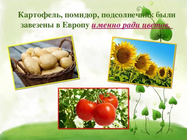 Картофель, помидор, подсолнечник были завезены в Европу именно ради цветов.