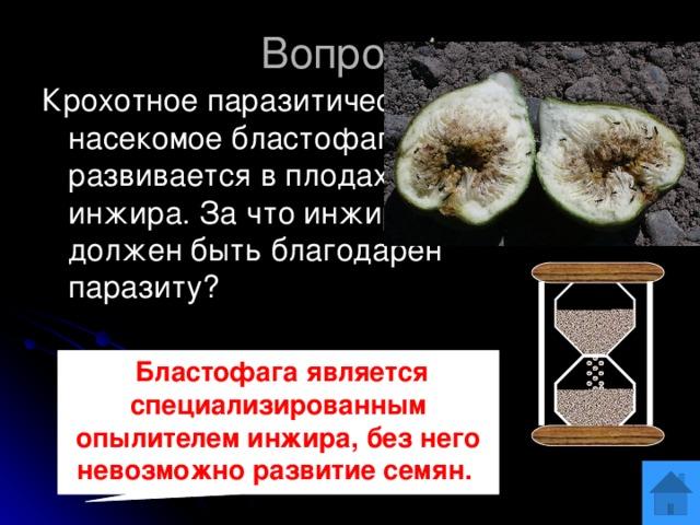 Вопрос 1 Крохотное паразитическое насекомое бластофага развивается в плодах дикого инжира. За что инжир должен быть благодарен паразиту? ОТВЕТ  Бластофага является специализированным опылителем инжира, без него невозможно развитие семян.