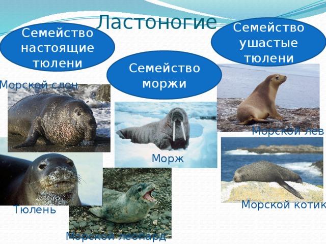 чем тюлени отличаются от морских котиков