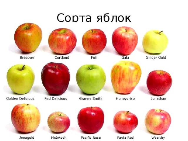 сорта яблок для беларуси в картинках стройные
