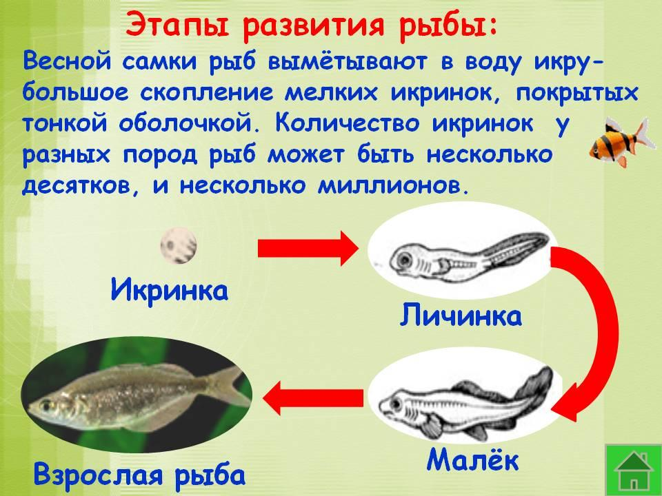 размножение и развитие потомства у рыб фото шанкре-амигдалите лечение антибиотиками
