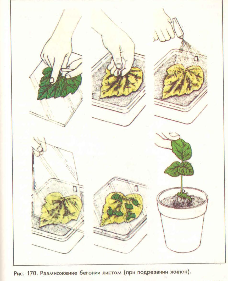 Картинки черенкования листов