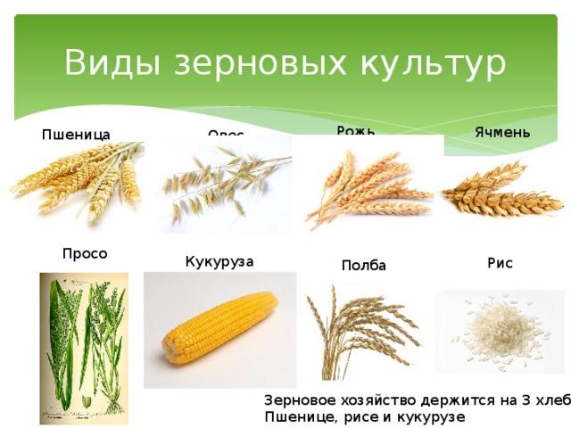 Зерновые культуры картинки с названием