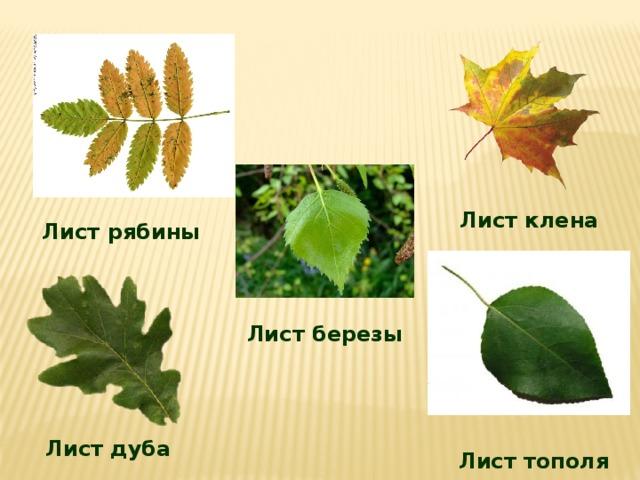 свои листья клена дуба березы рябины рисунки голова