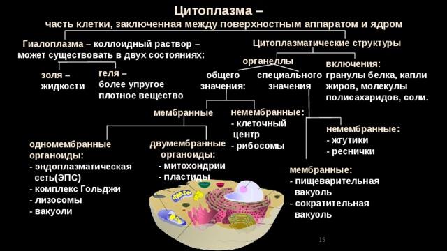 Цитоплазма –  часть клетки, заключенная между поверхностным аппаратом и ядром Цитоплазматические структуры Гиалоплазма – коллоидный раствор – может существовать в двух состояниях: органеллы включения: гранулы белка, капли жиров, молекулы полисахаридов, соли.  геля – более упругое плотное вещество общего специального значения: значения золя – жидкости немембранные: - клеточный  центр - рибосомы мембранные немембранные: - жгутики - реснички двумембранные органоиды:  - митохондрии  - пластиды одномембранные органоиды: - эндоплазматическая  сеть(ЭПС) - комплекс Гольджи - лизосомы - вакуоли мембранные: - пищеварительная  вакуоль - сократительная  вакуоль 15