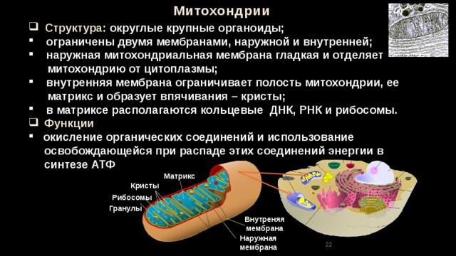 Митохондрии  Структура: округлые крупные органоиды;  ограничены двумя мембранами, наружной и внутренней;  наружная митохондриальная мембрана гладкая и отделяет  митохондрию от цитоплазмы;  внутренняя мембрана ограничивает полость митохондрии, ее  матрикс и образует впячивания – кристы;  в матриксе располагаются кольцевые ДНК, РНК и рибосомы.  Функции  окисление органических соединений и использование  освобождающейся при распаде этих соединений энергии в  синтезе АТФ Матрикс  Кристы Рибосомы Гранулы Внутреняя мембрана Наружная мембрана 22 22