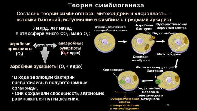 Теория симбиогенеза Согласно теории симбиогенеза, митохондрии и хлоропласты – потомки бактерий, вступившие в симбиоз с предками эукариот 3 млрд. лет назад в атмосфере много СО 2 , мало О 2 ; анаэробные эукариоты (О 2 + ядро) аэробные прокариоты (О 2 ) Симбиоз  аэробные эукариоты (О 2 + ядро)  В ходе эволюции бактерии превратились в полуавтономные органоиды.  Они сохранили способность автономно размножаться путем деления. 24