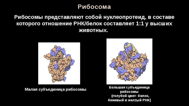 Рибосома Рибосомы представляют собой нуклеопротеид, в составе которого отношение РНК/белок составляет 1:1 у высших животных. Большая субъединица рибосомы  (голубой цвет- белок, бежевый и желтый РНК) Малая субъединица рибосомы 26