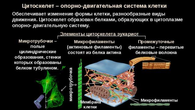 центриоли микротрубочка Цитоскелет – опорно-двигательная система клетки Обеспечивает изменение формы клетки, разнообразные виды движения. Цитоскелет образован белками, образующих в цитоплазме опорно- двигательную систему. Элементы цитоскелета эукариот Микротрубочки – полые цилиндрические образования, стенки которых образованы белком тубулином. Микрофиламенты (актиновые филаменты) состоят из белка актина Промежуточные филаменты – перевитые белковые волокна Микрофиламенты Мембрана клетки 27 27