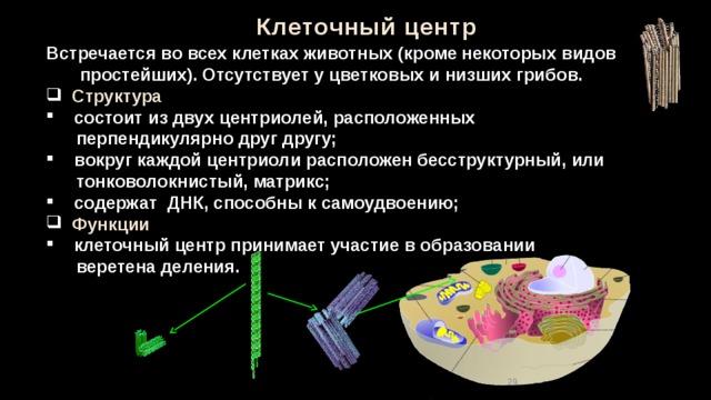 Клеточный центр Встречается во всех клетках животных (кроме некоторых видов простейших). Отсутствует у цветковых и низших грибов.  Структура   состоит из двух центриолей, расположенных  перпендикулярно друг другу;  вокруг каждой центриоли расположен бесструктурный, или  тонковолокнистый, матрикс;  содержат ДНК, способны к самоудвоению;  Функции  клеточный центр принимает участие в образовании  веретена деления. 28
