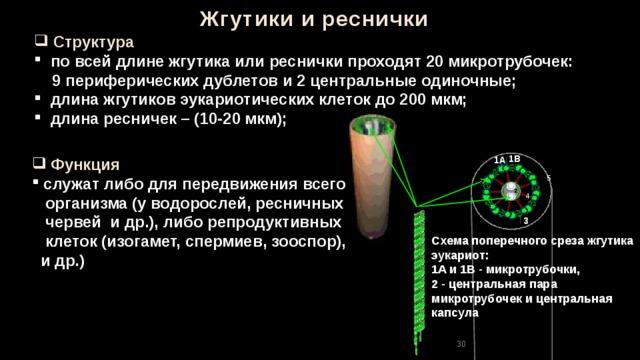 Жгутики и реснички  Структура  по всей длине жгутика или реснички проходят 20 микротрубочек:  9 периферических дублетов и 2 центральные одиночные;  длина жгутиков эукариотических клеток до 200 мкм;  длина ресничек – (10-20 мкм); 1В  Функция 1А  служат либо для передвижения всего  организма (у водорослей, ресничных  червей и др.), либо репродуктивных  клеток (изогамет, спермиев, зооспор),  и др.) 5 4 3 Схема поперечного среза жгутика эукариот: 1A и 1B - микротрубочки, 2 - центральная пара микротрубочек и центральная капсула 30