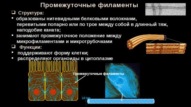 Промежуточные филаменты  Структура:  образованы нитевидными белковыми волокнами,  перевитыми попарно или по трое между собой в длинный тяж,  наподобие каната;  занимают промежуточное положение между  микрофиламентами и микротрубочками  Функции:  поддерживают форму клетки;  распределяют органоиды в цитоплазме Промежуточные филаменты 10 нм 32