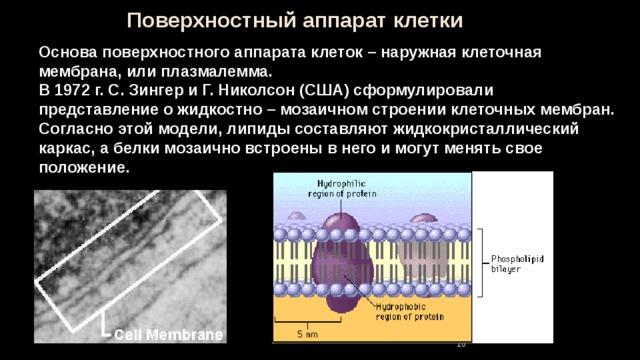 Поверхностный аппарат клетки Основа поверхностного аппарата клеток – наружная клеточная мембрана, или плазмалемма. В 1972 г. С. Зингер и Г. Николсон (США) сформулировали представление о жидкостно – мозаичном строении клеточных мембран. Согласно этой модели, липиды составляют жидкокристаллический каркас, а белки мозаично встроены в него и могут менять свое положение. 9 9