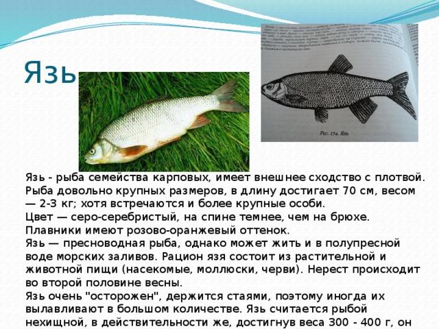 язь рыба фото и описание этом