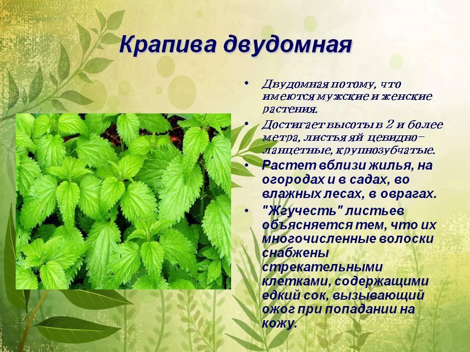 Реферат о лечебном растении 2626