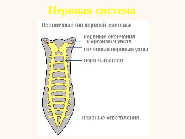 удовольствие часто схема выделительной и нервной системы планарии являются насекомыми, это