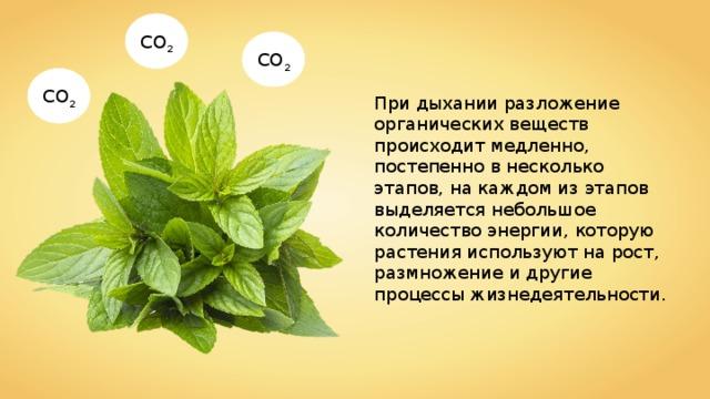 CO 2 CO 2 CO 2 При дыхании разложение органических веществ происходит медленно, постепенно в несколько этапов, на каждом из этапов выделяется небольшое количество энергии, которую растения используют на рост, размножение и другие процессы жизнедеятельности.