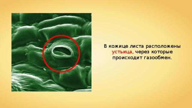 В кожице листа расположены устьица , через которые происходит газообмен.