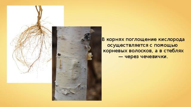 В корнях поглощение кислорода осуществляется с помощью корневых волосков, а в стеблях — через чечевички.