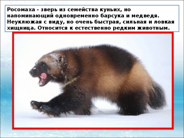 росомаха животное фото и описание декор комода
