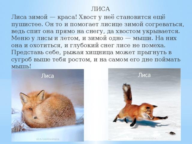 как зимуют лисы