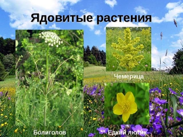собрали описания ядовитые полевые растения фото и названия ножны рукоять стали
