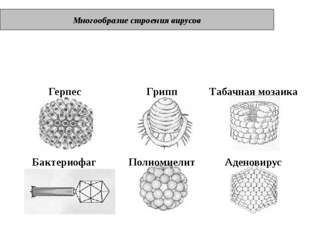 Многообразие строения вирусов Герпес Грипп Табачная мозаика Бактериофаг Полиомиелит Аденовирус