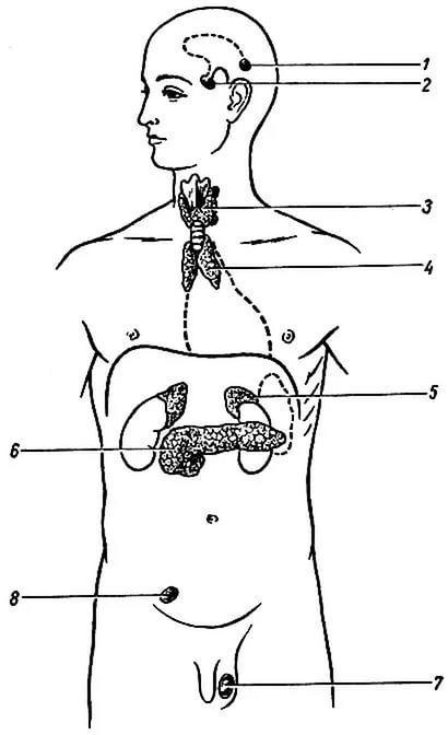 Картинка железы человека
