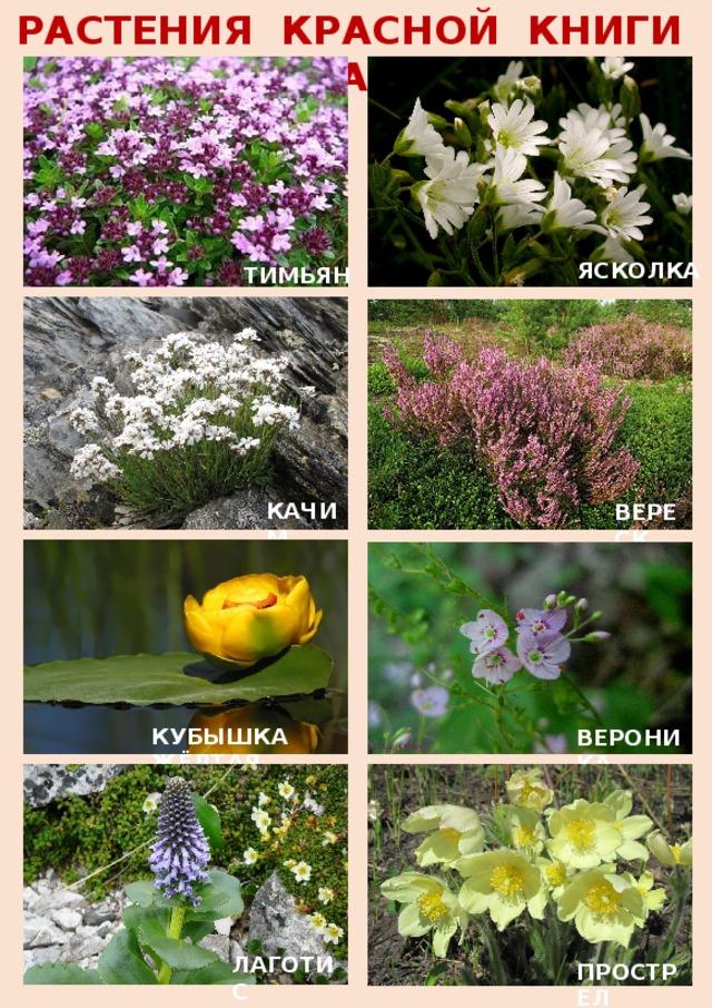 Растения среднего урала с картинками