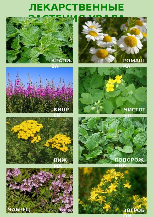 продаже фото лекарственных растений с названиями и описанием кастрюлю плиту