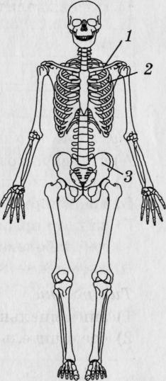 биология скелет картинки про успешных трейдеров