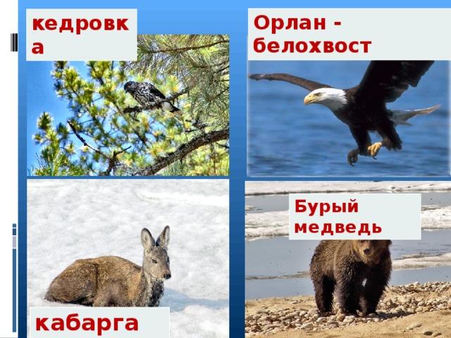 Орлан - белохвост кедровка Бурый медведь кабарга
