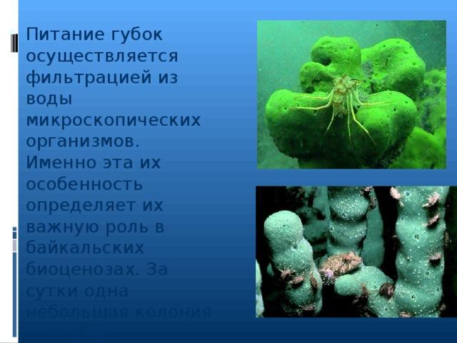Питание губок осуществляется фильтрацией из воды микроскопических организмов. Именно эта их особенность определяет их важную роль в байкальских биоценозах. За сутки одна небольшая колония способна профильтровать несколько десятков литров воды.