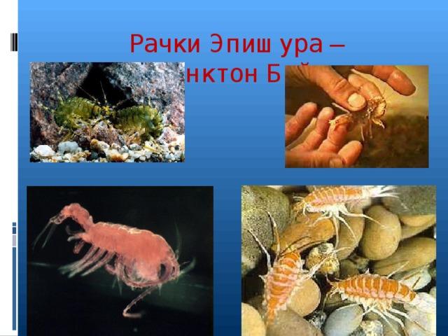 Рачки Эпишура – зоопланктон Байкала
