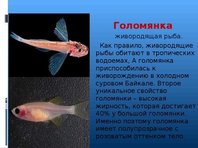 Голомянка  живородящая рыба.  Как правило, живородящие рыбы обитают в тропических водоемах, А голомянка приспособилась к живорождению в холодном суровом Байкале. Второе уникальное свойство голомянки – высокая жирность, которая достигает 40% у большой голомянки. Именно поэтому голомянка имеет полупрозрачное с розоватым оттенком тело.