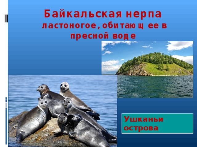 Байкальская нерпа  ластоногое, обитающее в пресной воде   Ушканьи острова