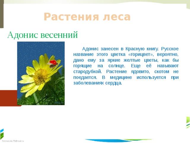 Растения леса Адонис весенний  Адонис занесен в Красную книгу. Русское название этого цветка «горицвет», вероятно, дано ему за яркие желтые цветы, как бы горящие на солнце. Еще её называют стародубкой. Растение ядовито, скотом не поедается. В медицине используется при заболеваниях сердца.