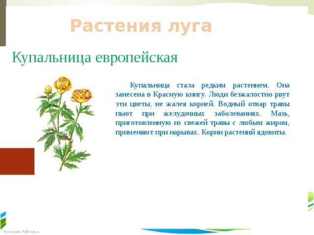 Растения луга Купальница европейская  Купальница стала редким растением. Она занесена в Красную книгу. Люди безжалостно рвут эти цветы, не жалея корней. Водный отвар травы пьют при желудочных заболеваниях. Мазь, приготовленную из свежей травы с любым жиром, применяют при нарывах. Корни растений ядовиты.