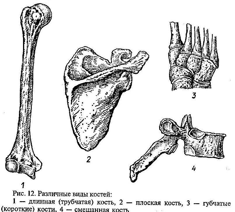 Учить кости по картинками